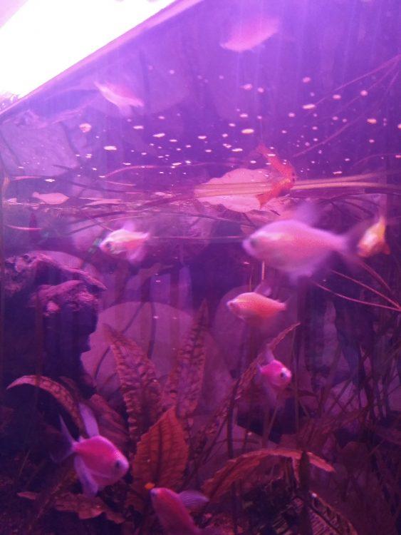 чем усилить окраску рыбы в аквариуме