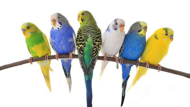 Краткое пособие по выбору молодого попугая для обучения разговору